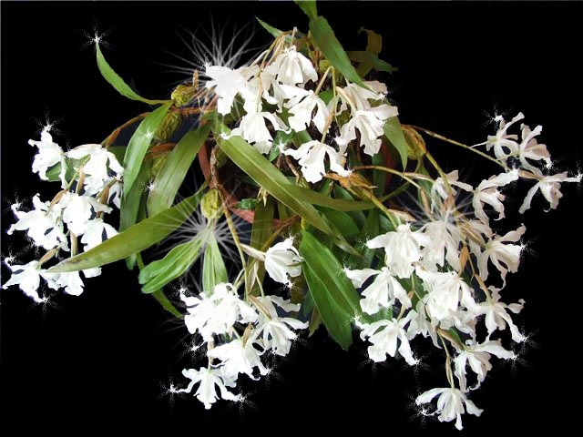 Coelogyne cristata var hololeuca. Автор фото и владелец растения - Наталья (kike)